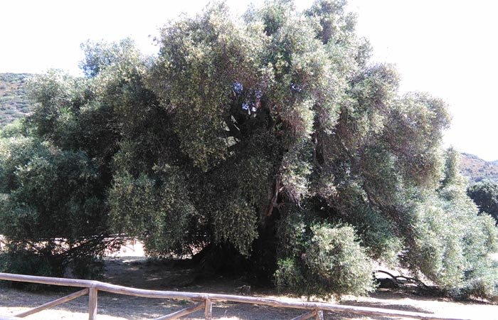 The millenarian wild olive trees of Luras
